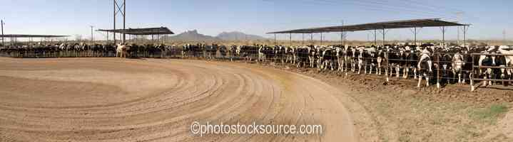 Stockyard Cattle
